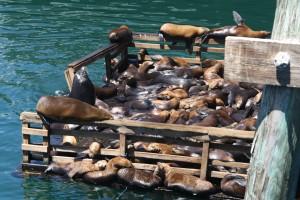 Søløvernes svar på swingerklub i Montereys havn